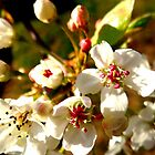 Pear Blossom by logobot