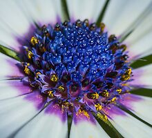 Macro shot of Daisy flower by sgshutter