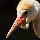 Young wattled crane by Bine