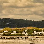 Pelicans at Poddy Shot, Denmark, Western Australia #2 by Elaine Teague