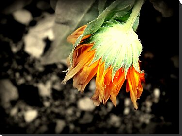 Orange Flower by dreamlandart