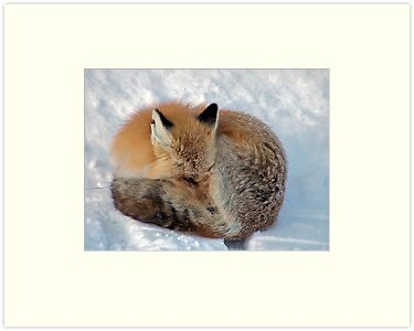 Let sleeping foxes lie! by Nancy Richard
