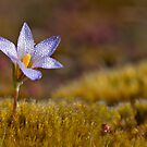 Wildflower - Crocus by Csar Torres
