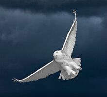 Snowy Owl in Flight in Saskatchewan Canada by pictureguy