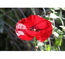 Vector Style Poppy With Natural Background  Photographic Print