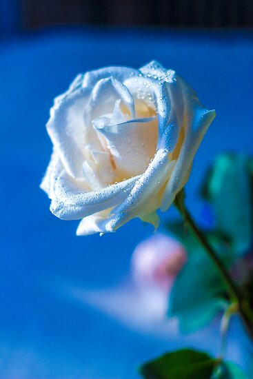 White rose by John Velocci