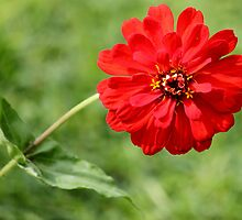 Zany Zinnia by Antionette