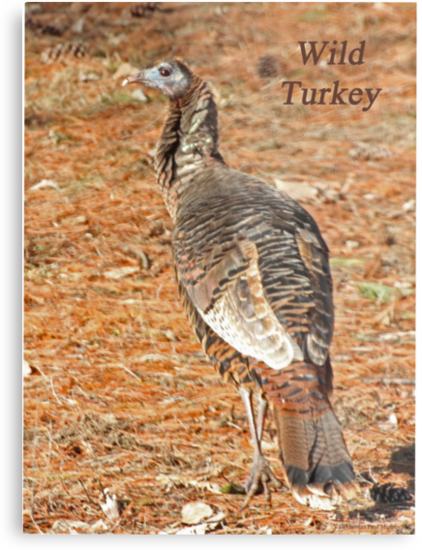 Wild Turkey by Thomas Murphy