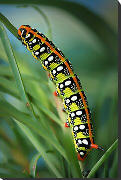 Hyles euphorbiae caterpillar by jimmy hoffman