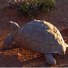 Tortoise wandering into the Sunset - South Africa by Bev Pascoe