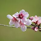 Peachy Pretties by Bob Hardy