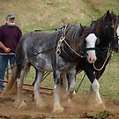 Clydesdale Siblings in Warragul, Gippsland by Bev Pascoe