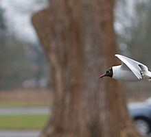 Black-headed gull  by Keith Larby