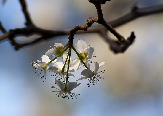 Early Spring Blossoms by Jay Gross