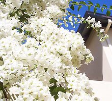 Bougainvillea -  23 11 12 - Three by Robert Phillips