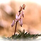 Dutchman's Breeches (Dicentra cucullaria) by NatureGreeting Cards ©ccwri