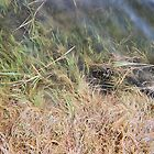 Marsh Grasses, Plum Island, August 2012 by jenjohnson1968