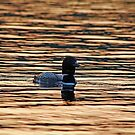 Sunset Loon by Debbie Oppermann