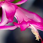 Christmas Cactus Flower by Deb Fedeler