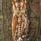 Eastern Screech-Owl ( Red Phase ). by Daniel Cadieux