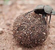 The dung beetle. by JeanNieman