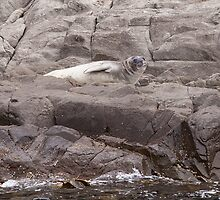 Antarctic  Seal by Ron Finkel