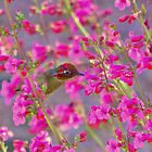 Peeking Through the Pink Penstemons by Diana Graves Photography