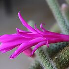 Flower of the Rattail Cactus by Maree Clarkson