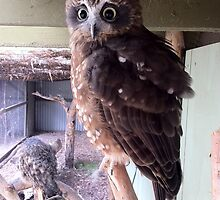 Halls Gap Zoo - Barking Owl by forgantly