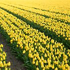 Yellow tulips by Jan Zoetekouw