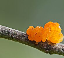 Orange fungi by César Torres