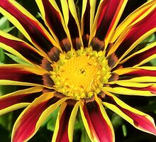 Gazania in the Garden III by Kathleen M. Daley