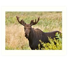 Bull Moose in Saskatchewan Prairie wheat bush close up Art Print
