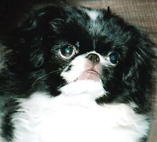 Portrait of a Japanese Chin Puppy  by jimfitz