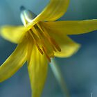 Vermont Trout Lily by Susan R. Wacker