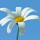 Daisy on blue by Tardy