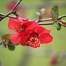 Japanese Quince by Bob Hardy