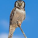 Northern Hawk Owl in Late Afternoon Light by Bill McMullen