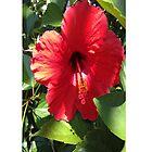 Polynesian Hibiscus by schermer