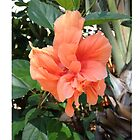 Polynesian Orange Hibiscus by schermer