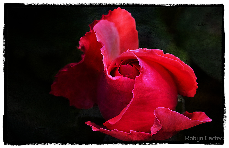 The Rose by Robyn Carter