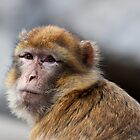Macaque portrait by Balint Takacs