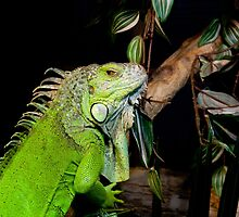 Iguana portrait by Balint Takacs