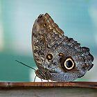 Owl Butterfly (Caligo eurilochus) by Balint Takacs
