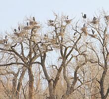 Great Blue Heron Colony by Bo Insogna
