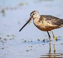 Long-billed Dowitcher: Muddy Waters by John Williams