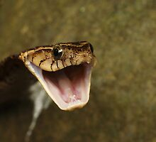 False Fer-de-Lance by Seth LaGrange