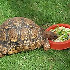Leopard/Mountain Tortoise - Torti by Maree Clarkson