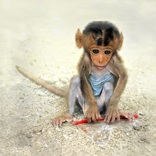 Young macaca by jimmy hoffman