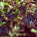 Butterflies by Joseph D'Mello